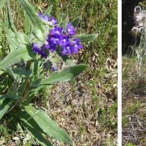 Curt Strengell fotograferade dessa blommor på Ösels sydligaste udde (Sääre). Vad är blommornas namn?