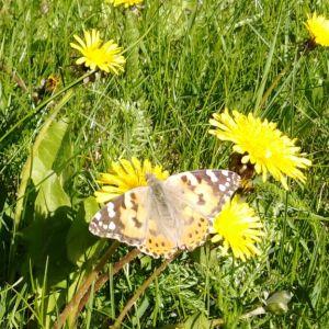 Vilken art är denna fjäril? Ser ut som korsning mellan nässelfjäril och pärlemor, skriver Yvonne.