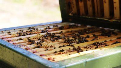 Honungsbin inne i en öppen bikupa.