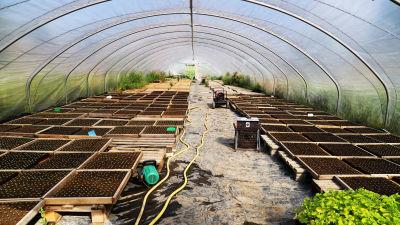Ett växthus av plast där det finns många lådor med jord.
