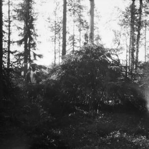 Pöytäkuusi eli Tapionpöytä Suurellasuolla Levävaarassa (1915)