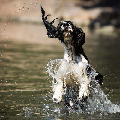 Englanninspringerspanieli nauttii helteestä ja vesileikeistä Helsingissä Rajasaaren koirapuistossa tiistaina 8. heinäkuuta.
