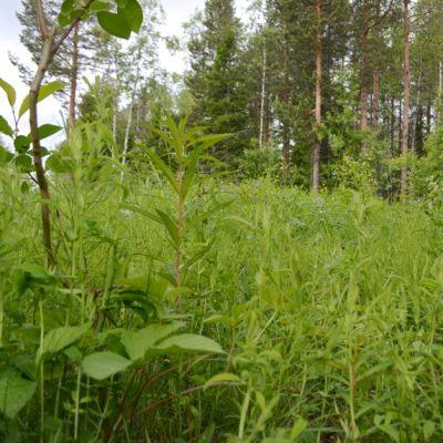 metsä, heinikko, Kemi