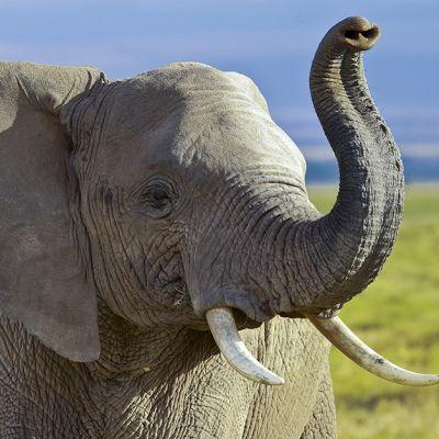 Afrikannorsu valokuvattuna Keniassa lokakuussa 2013.