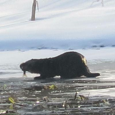 Tre uttrar äter fisk på isen.