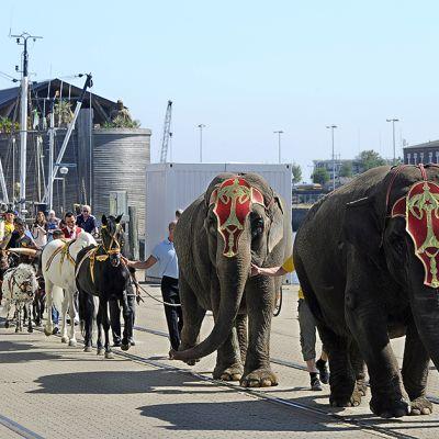 Sirkukseläimiä kävelytetään Euroopan ensimmäisen raamattuaiheisen huvipuiston, Nooan arkkia esittävän 70-metrisen laivan vierellä Cuxhavenin satamassa.