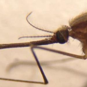 Närbild av en mygga.