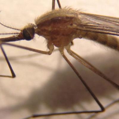 Anopheles daciae -lajiin kuuluva hyttynen