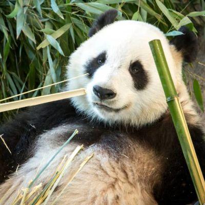 Panda äter vid Etseri djurpark.