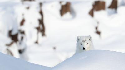 Fjällräv i snölandskap.