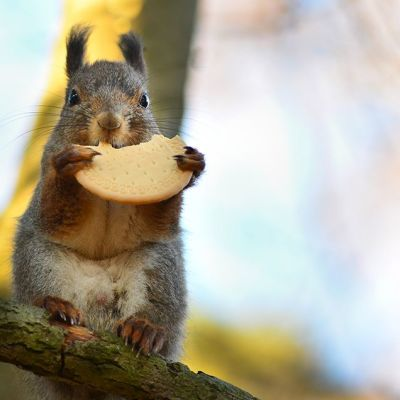 orava syö keksiä