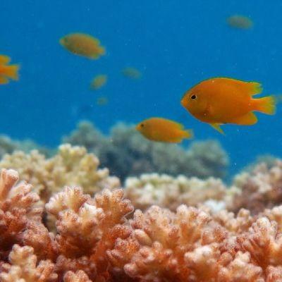 Keltaisia neitokaloja koralliriutalla.