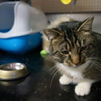 Kissa löytöeläinkodin häkissä