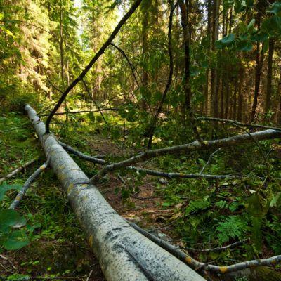Polun päälle kaatunut puu Kuopion Puijolla