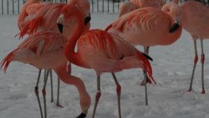 flamingo, högholmen