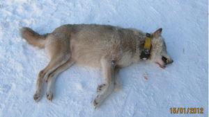 Vargen som sköts i januari 2012 var en alfahona.