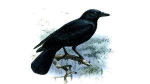 Kortnäbbad kråka.