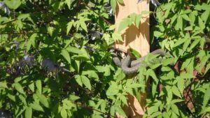 En snok hänger bland trädgrenar.