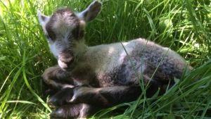 ett litet lamm i gräset