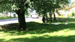 En kvinna jagar en svanfamilj från en gata på en gräsmatta invid.