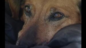 Hunden Masha väntar förgäves på sin ägare i Novosibirsk.
