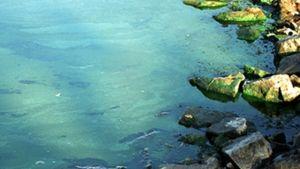 Blågrönalger i havet.