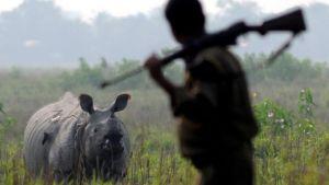 En noshörning på savannen stirrar på en jägare med gevär på axeln.