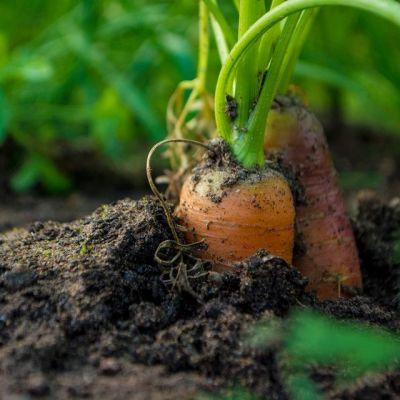 Porkkanat maassa