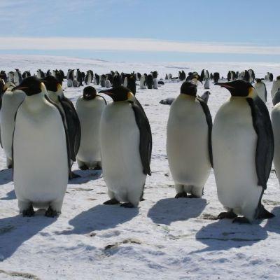 Pingviinejä Weddellin meren rantajäillä 300 km Aboasta.