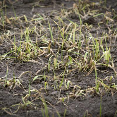 Lähikuva pilaantuneesta oraasta vetisessä pellossa.