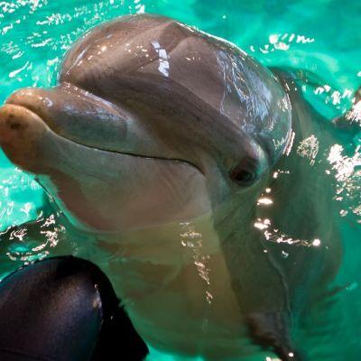 Veera-delfiini