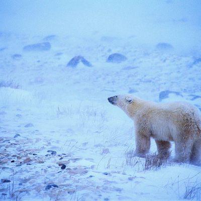 Jääkarhu lumisateessa lumisella tundralla.