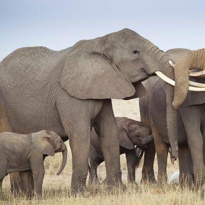Norsuja Amboselin kansallispuistossa Etelä-Keniassa.