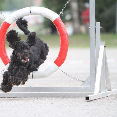 Koira hyppää agility-renkaan läpi
