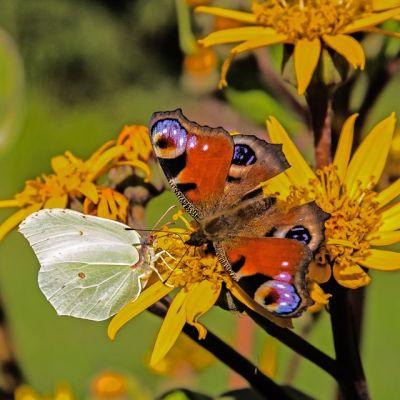 Kaaliperhonen ja neitoperhonen kohtaavat.