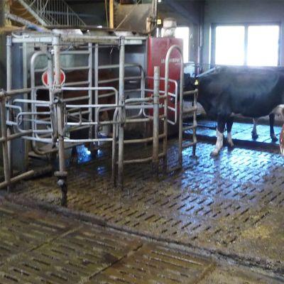 Lehmät navetassa, musta menossa lypsyrobottiin