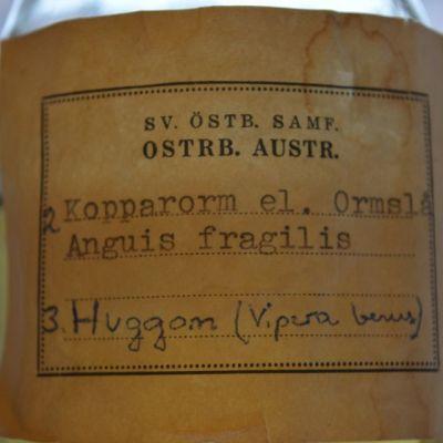 Vaskitsa eli anguis fragilis pullossa löytyy Pohjanmaan museon luonnontieteellisesta kokoelmasta.