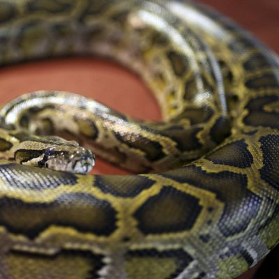 Pyton-käärme