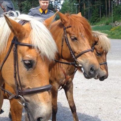 Suomenhevosia rivissä.