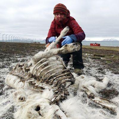 Norjan Polaari-instituutin tutkija Åshild Ønvik Pedersen tutkii kuollutta peuraa Huippuvuorilla. Kuva on päiväämätön.