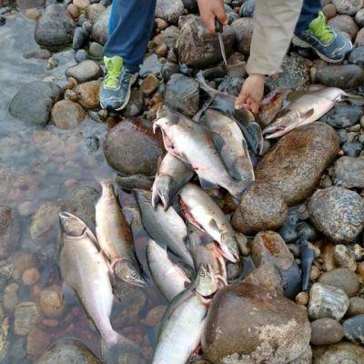 Näin Tenon lohimäärä romahti huippuvuosista – Tutkija povaa kalastusrajoitusten jatkuvan lähivuodet