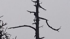 kuollut, pystyssä töröttävä puu harmaata taivasta vasten