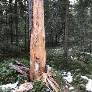 Ett träd som något slitit på