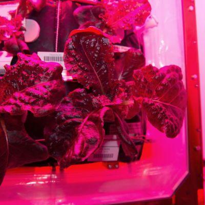 NASAn välittämä päiväämätön valokuva ulkoavaruudessa kasvatetusta salaatista.