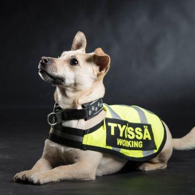 """Vaalea koira, jolla on päällä keltainen heijastinliivi, jossa lukee """"työssä"""""""