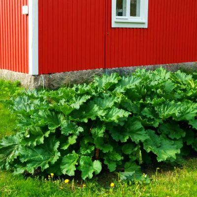 Raparperi on yksi Suomen vanhimmista puutarhakasveista.