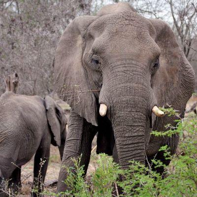 Kaksi norsua tallustelee Krugerin kansallispuistossa Etelä-Afrikassa.