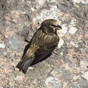 Barbro undrar vad detta är för fågel. Näbben ser ut som på en rovfågel, men den är liten.