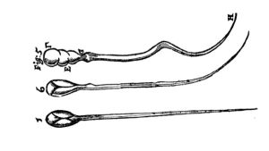 historiallinen anatominen piirros siittiöistä