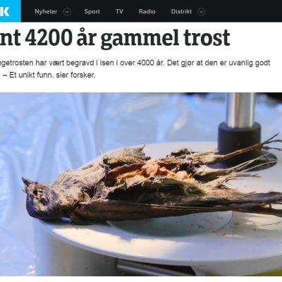 """Kuollut rastas ja norjankielinen otsikko """"Löytynyt 4 200 vuotta vanha rastas"""""""